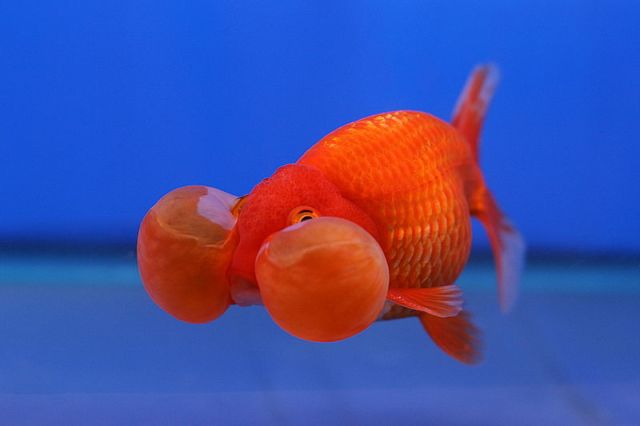800px-Goldfish_Bubble_Eye